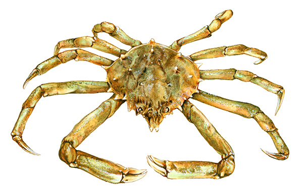 Common_Spider_Crab
