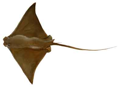 022-Cownose_Ray