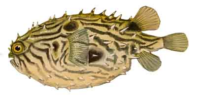 017-Striped_Burrfish
