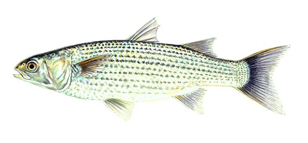 Striped Mullet