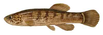087-Eastern_Mudminnow