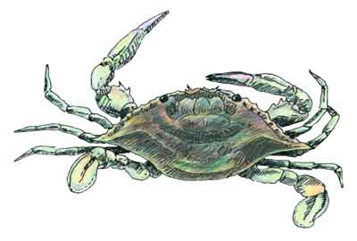 Blue Crab Juvenile