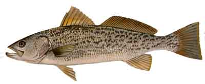 Weakfish-DR-008