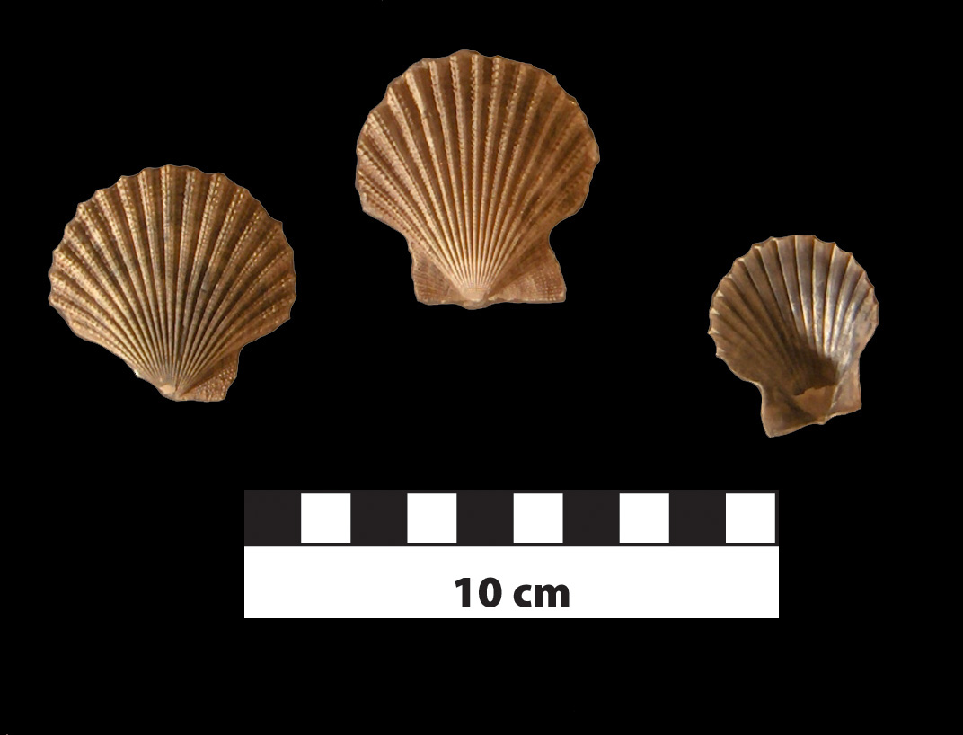 Chesapecten coccymelus