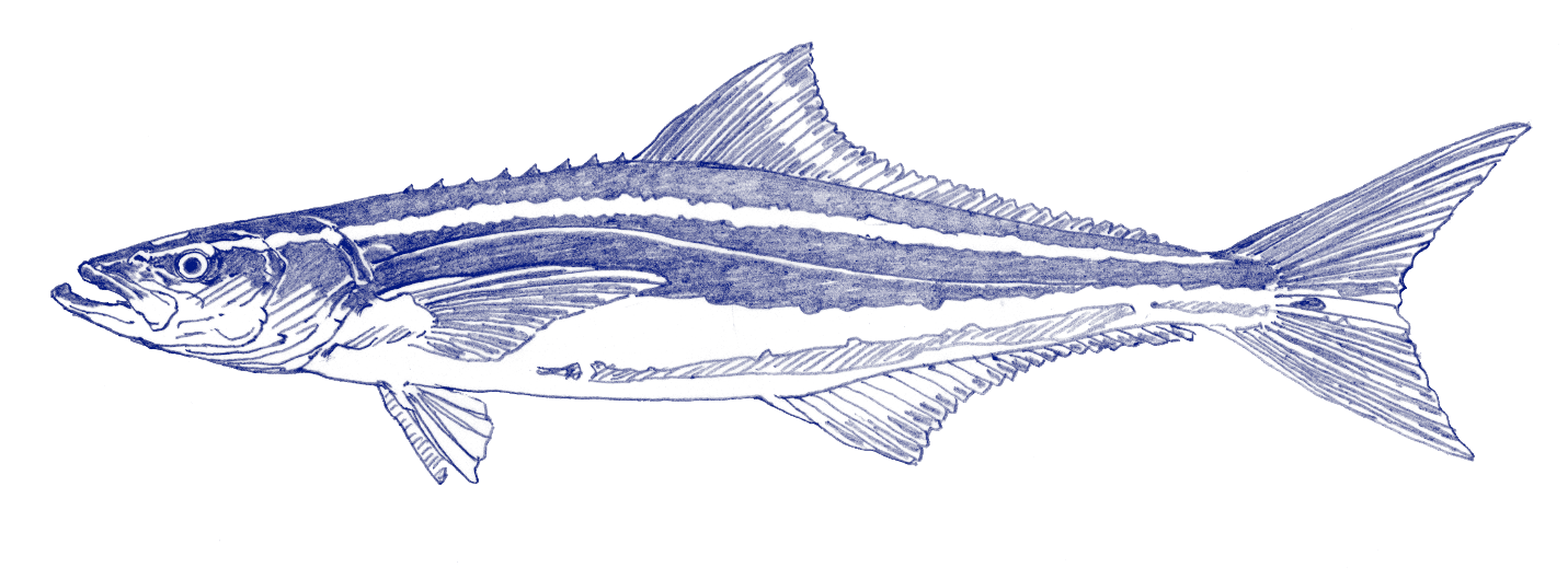 illustration of ancient Miocene cobia